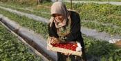 Les fraises et les oeillets seront au centre des exportations de Gaza.